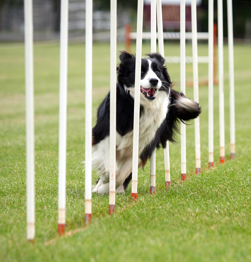 Dog Agility Equipment Out of PVC Pipes